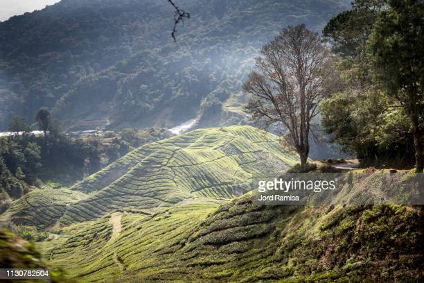 cameron highlands - arbusto stock pictures, royalty-free photos & images