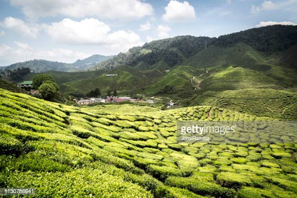 cameron highlands - frescura stock pictures, royalty-free photos & images
