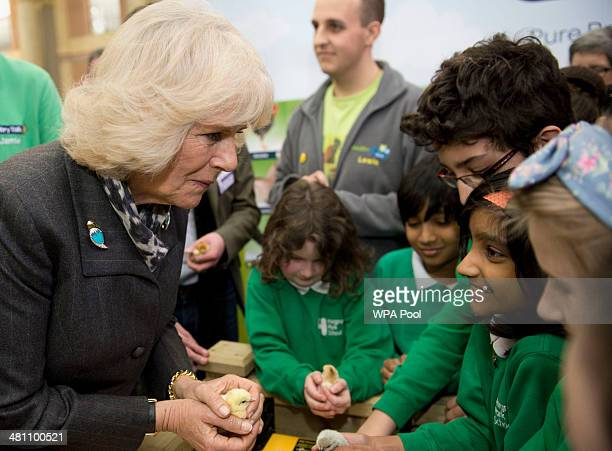 Camilla Duchess of Cornwall holds holding a three dayold Pekin Bantam chick talking to children from Hargrave Park school during The Edible Garden...