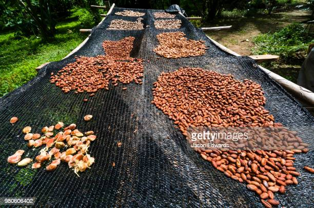 seeds from the cacao tree are spread out to dry in the amazon rainforest. - theobroma stock-fotos und bilder