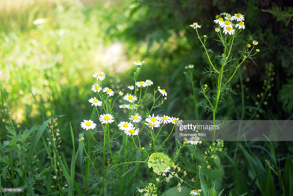 Camomile flowers growing in the shade : Stock Photo