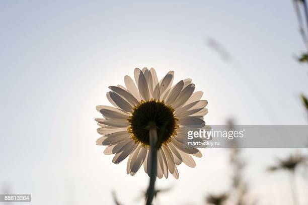 camomile front of sun