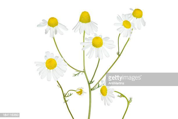 camomile isolated on white
