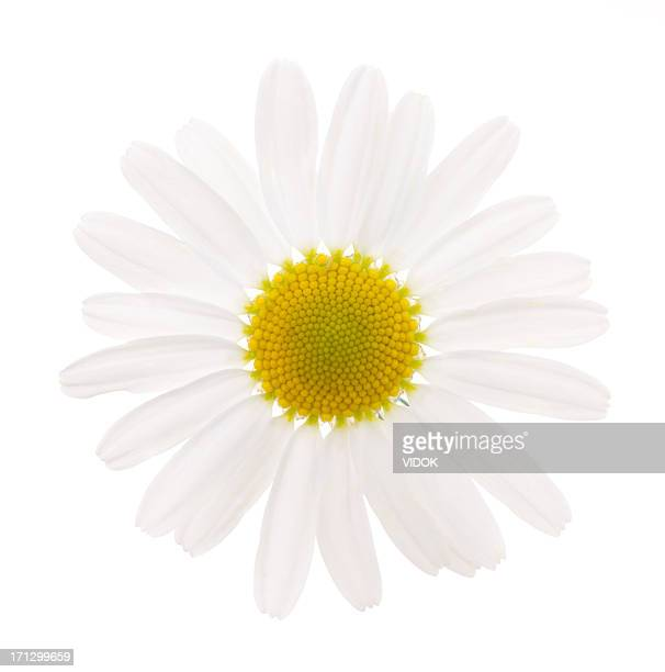 camomile - gerbera daisy stock pictures, royalty-free photos & images