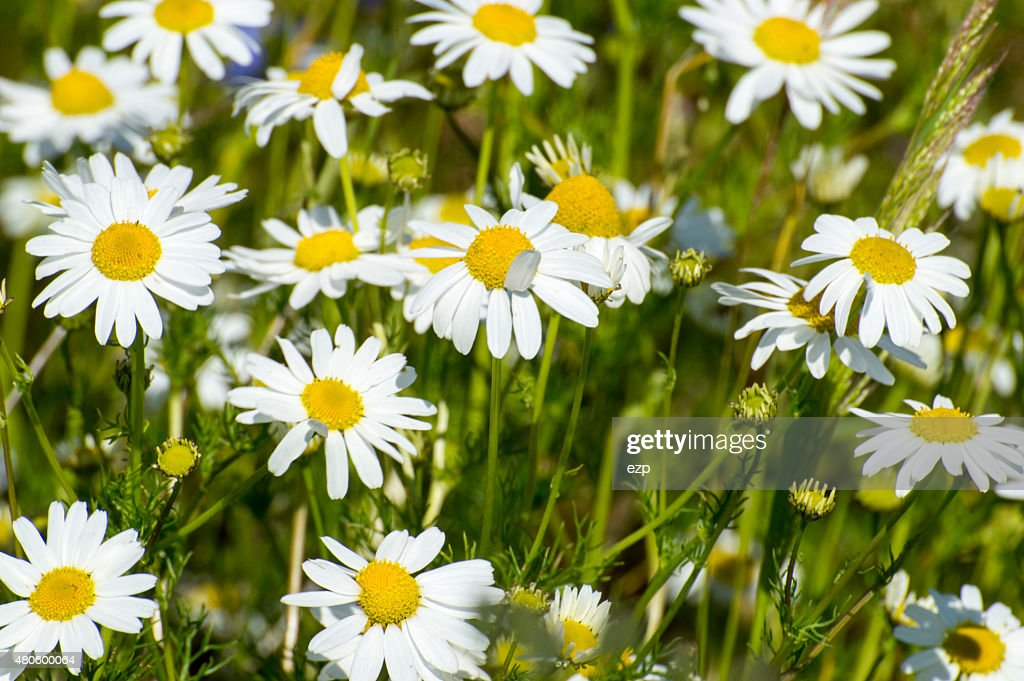 camomile : Stock Photo