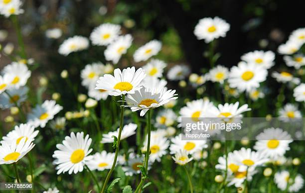 camomiles - chamomile tea stock photos and pictures