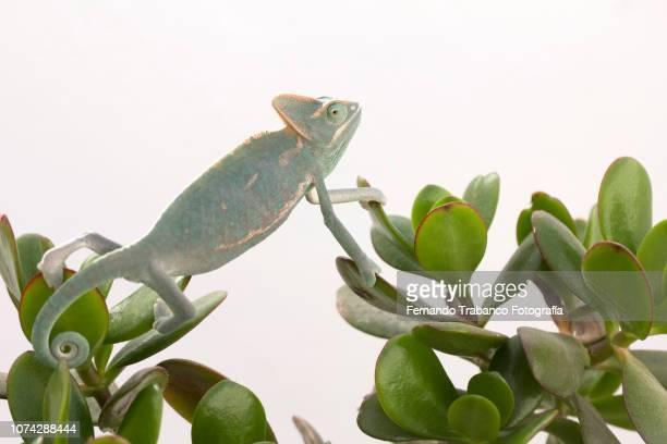 camouflage - 爬虫類 ストックフォトと画像
