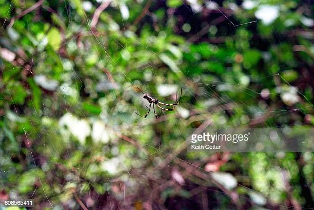 camouflaged creatures  - spider silk stock photos and pictures