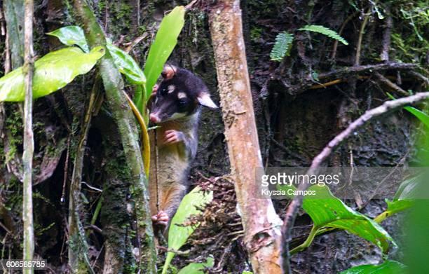 camouflaged creatures  - opossum americano foto e immagini stock