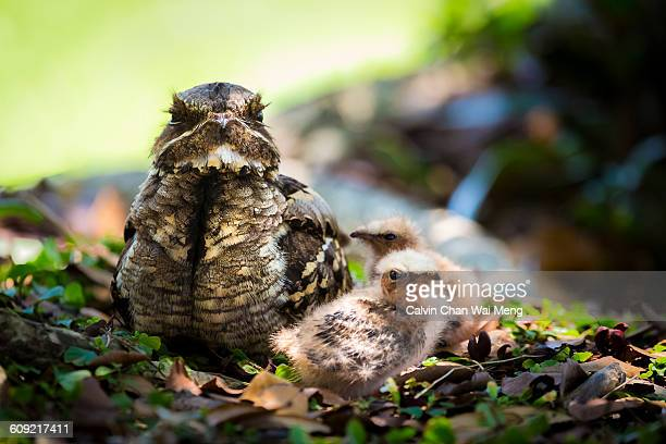 camouflaged creatures  - nightjar stock photos and pictures