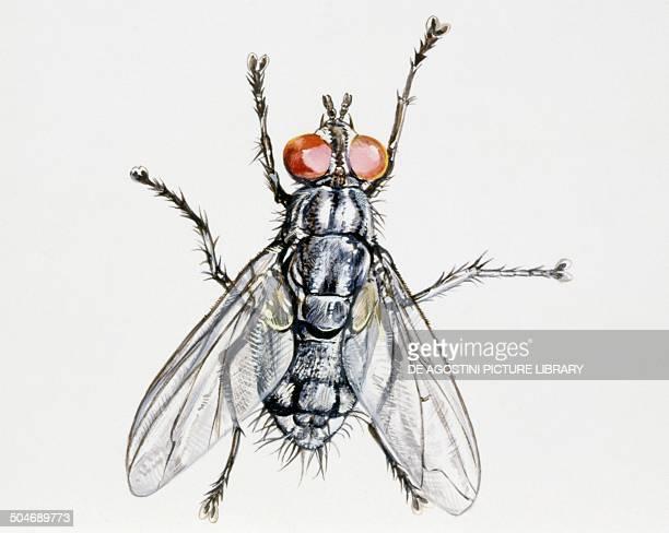 Camouflaged flesh Fly Sarcophagidae drawing