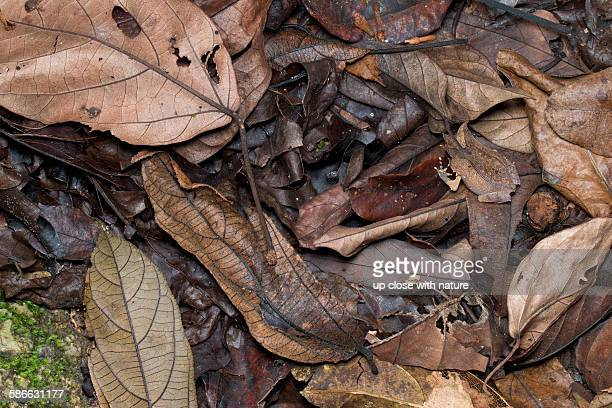 camouflaged malayan horned frog on forest floor - horned frog stock photos and pictures