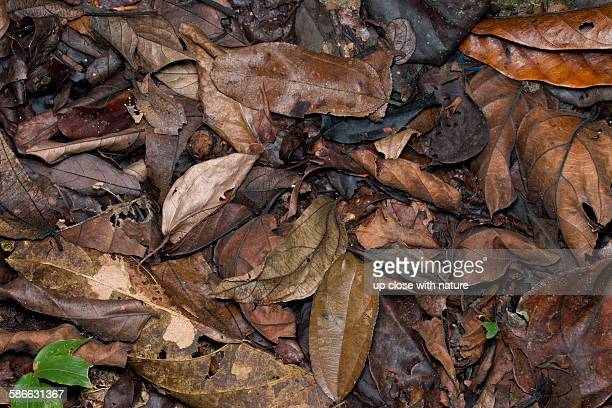 Camouflaged Malayan horned frog on forest floor