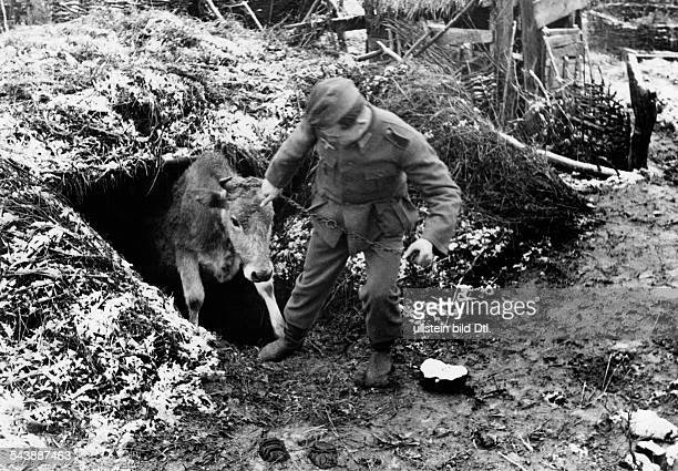 2WW Campaign against soviet union eastern front War theatre Advance to the Caucasus mountains A cow is kept in one of the sheltersDecember 1942 No...