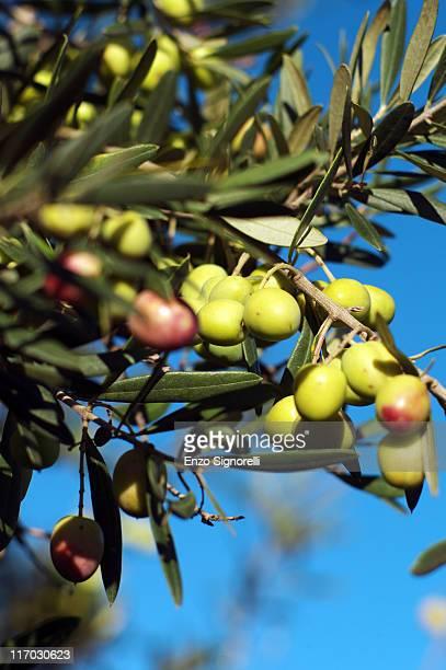 Campania Cilento and Vallo di Diano National Park An olive tree in the village of Morigerati