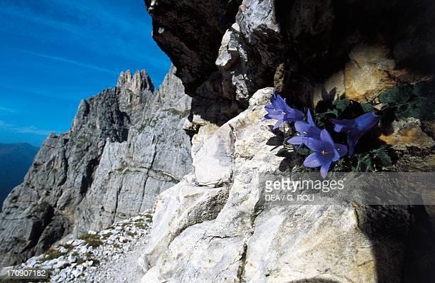 Campanula PaneveggioPale di San Martino Nature Park TrentinoAlto Adige Italy