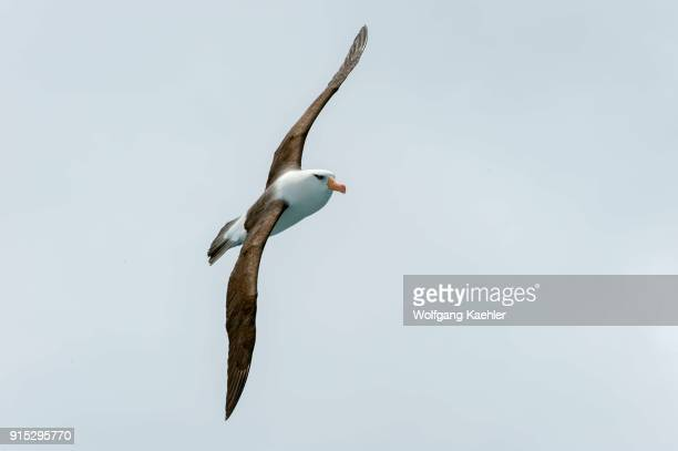 Campbell albatross or Campbell mollymawk in flight near Campbell Island a subAntarctic Island in the Campbell Island group New Zealand