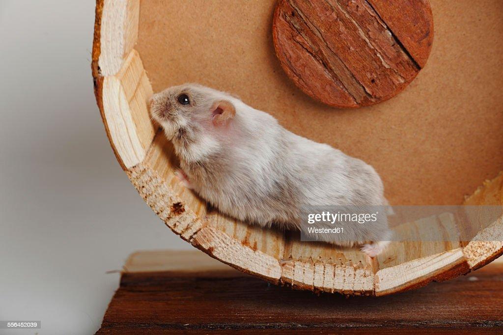 Campbell's Dwarf Hamster running in hamster wheel : Stock Photo