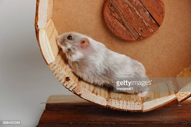 Campbell's Dwarf Hamster running in hamster wheel