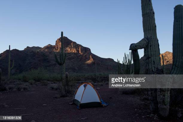 Camper pitches his tent amidst the cactus in the desert landscape, April 28 in Organ Pipe Cactus National Monument, Arizona.