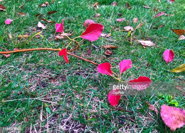 camphor leaves and twigs fallen on the lawn in october - istock images stock pictures, royalty-free photos & images