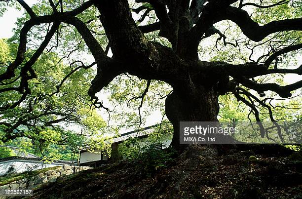 Camphor tree and Japanese architecture