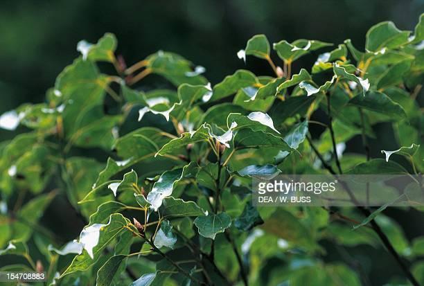 Camphor tree foliage Lauraceae