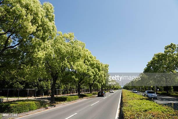 Camphor Tree, Kumamoto, Kumamoto, Japan