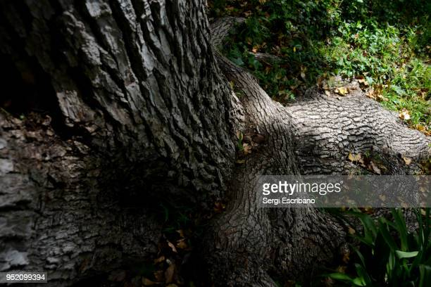 camphor tree - mythology stock pictures, royalty-free photos & images