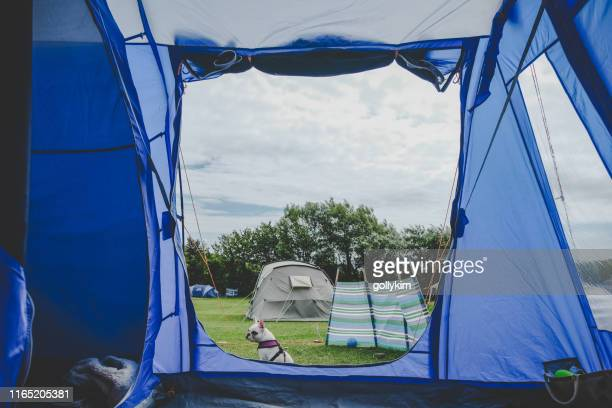 camping with dog. french bulldog sitting outside camping tent - french bulldog stock pictures, royalty-free photos & images