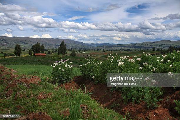 Campo de papas ( potato field)