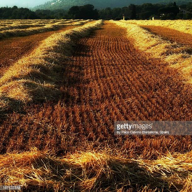 Campo despues de la siega. Agricultura