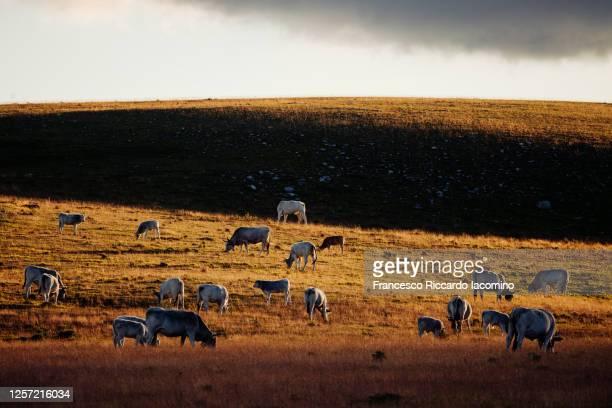 campo imperatore. gran sasso e monti della lega national park, cows and landscape at sunset. abruzzo, italy - parco nazionale d'abruzzo foto e immagini stock