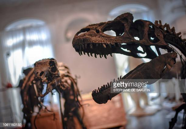 A Camptosaurus and an Allosaurus skeletons are displayed on November 13 2018 at the Artcurial auction house in Paris