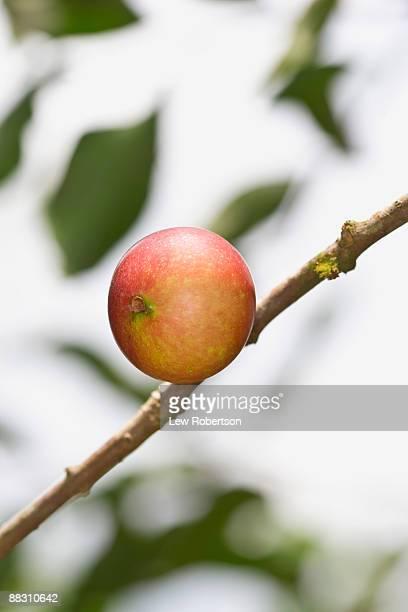 Camu camu on branch