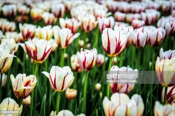 Canada 150 Tulip at Canadian Tulip Festival