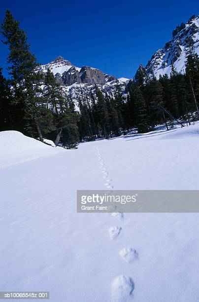 Canada, Alberta, Canadian Rockies, bear tracks in snow