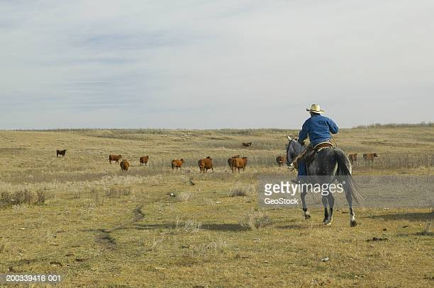 canada, alberta, cowboy herding cattle on horse, rear view - herder stock photos and pictures