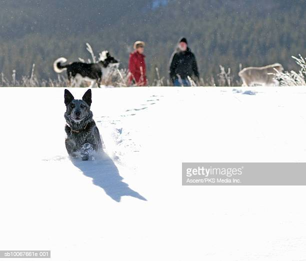 Canada, Alberta, dog running through snow with couple in background