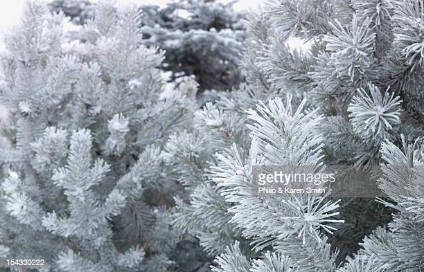 Canada, Alberta, Frosted needles of spruce tree on cold winter day