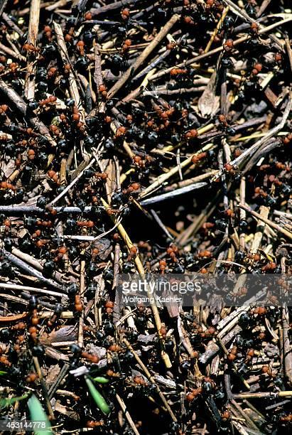 Canada Alberta Red Ant Nest