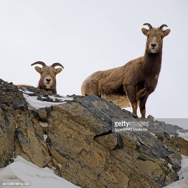Canada, Alberta, two Rocky Mountain Bighorn Sheep on rock