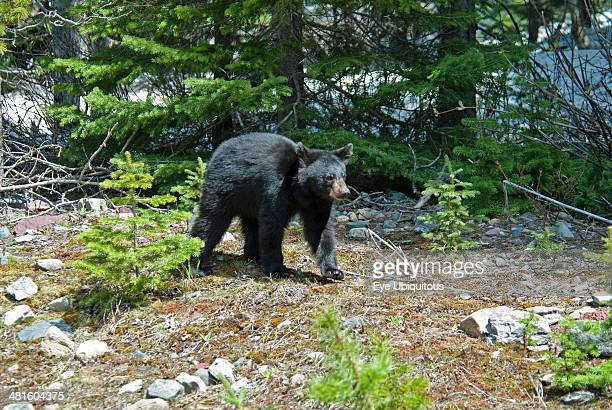 Canada Alberta Waterton Lakes National Park Black Bear cub Ursus americanus UNESCO World Heritage Site Cub is out foraging with its mother and...