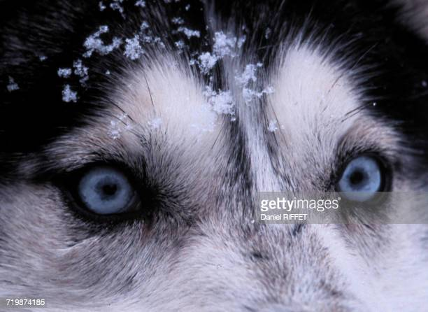 canada, at the border of new-brunswick, close up on the eyes of a husky dog - sled dog stock pictures, royalty-free photos & images