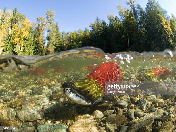 Canada, British Columbia, Adams River, spawning sockeye salmon (Oncorhynchus nerka), surface view