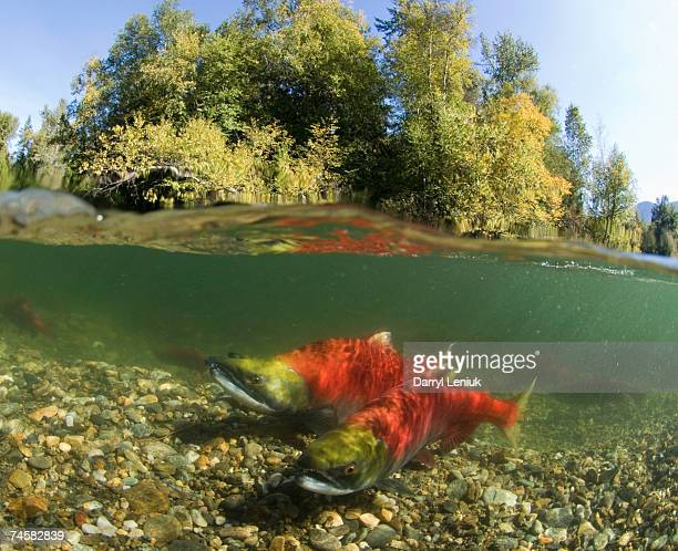 Canada, British Columbia, Adams River, spawning sockeye salmons (Oncorhynchus nerka), surface view