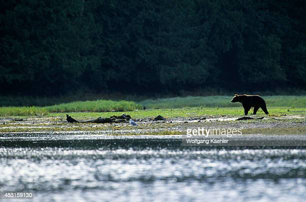 Canada British Columbia Knight Inlet Glendale River Grizzly Bears In Estuary