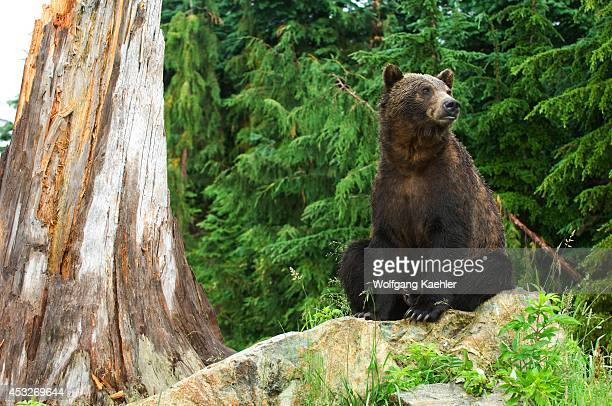 Canada British Columbia Vancouver Grouse Mountain Grizzly Bear Sitting On Rock
