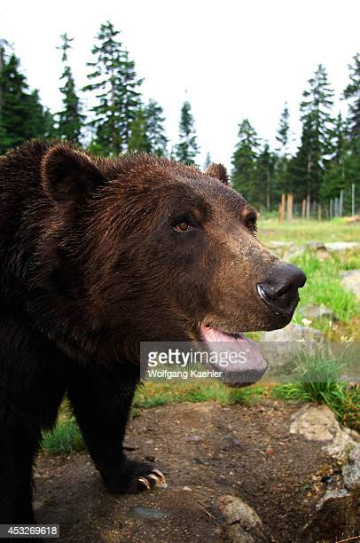 Canada, British Columbia, Vancouver, Grouse Mountain, Grizzly Bear Close-up.