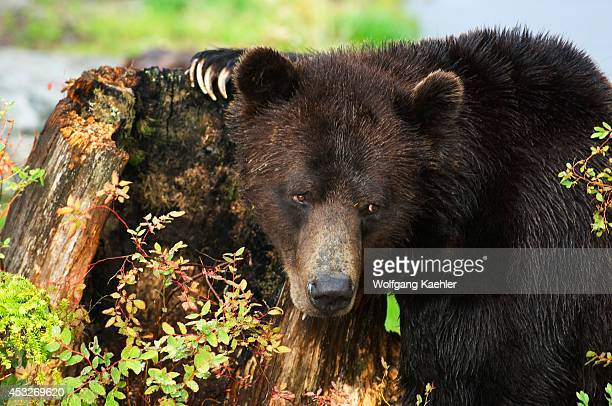 Canada, British Columbia, Vancouver, Grouse Mountain, Grizzly Bear Investigating Tree Stump.